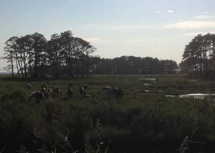 chincoteague_1