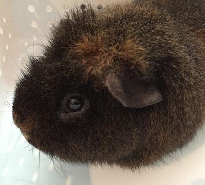 Truman the Guinea Pig
