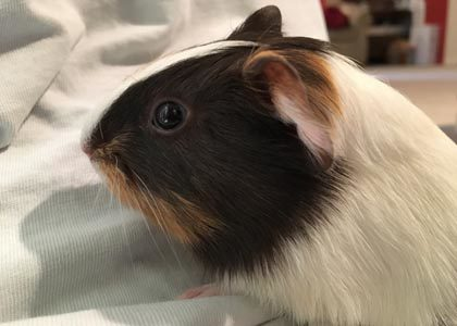 Linus the Guinea Pig