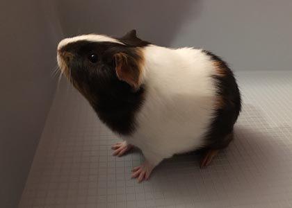 linus the guinea pig